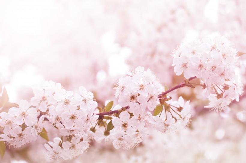 唯美樱花浪漫场景图片